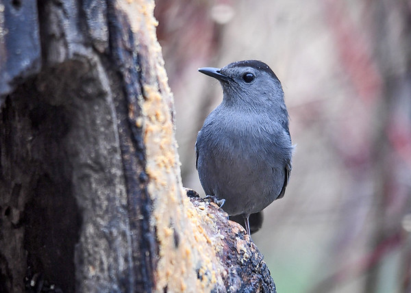 """<div class=""""jaDesc""""> <h4>Female Catbird Dining at Suet Log - May 5, 2018</h4> <p>The Catbirds carry on conversations with me as I watch them eating.  It must be the same pair from last year.  They are way too tame so fast.</p> </div>"""