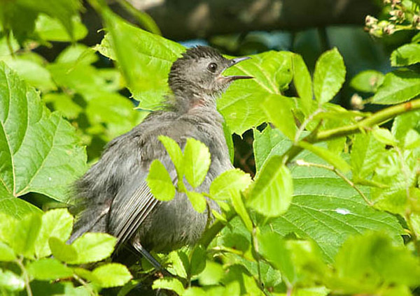 """<div class=""""jaDesc""""> <h4>Juvenile Catbird Out for a Peek - July 25, 2009 </h4> <p> This juvenile Catbird popped up out of dense brush just briefly to look around. He got scolded by mother Catbird and quickly disappeared back into the foliage.</p> </div>"""