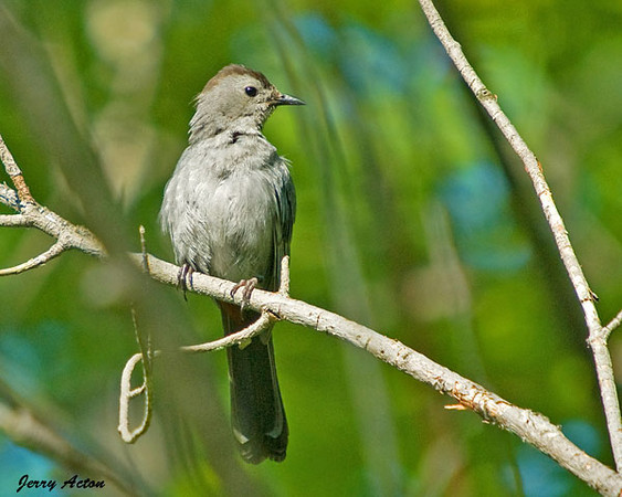 "<div class=""jaDesc""> <h4>Juvenile Catbird in Woods - July 19, 2009 </h4> <p> This juvenile Catbird was hanging out close to his parents in the woods and calling to be fed.</p> </div>"