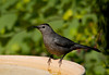 "<div class=""jaDesc""> <h4>Catbird Ready for Bath - July 9, 2012 </h4> <p> During the recent hot weather, our birdbaths have been getting regular use. The Catbird pair were in yesterday, taking turns cooling off in the 85 degree heat.</p> </div>"