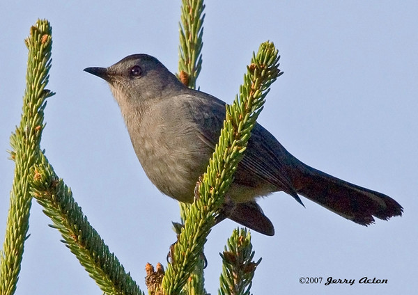 "<div class=""jaDesc""> <h4>Catbird in Top of Spruce Tree - September 30, 2006 </h4> <p> A pair of Catbirds stake out their territory on the lower part of our property every year.  They can often be seen in the tops of our spruce trees keeping an eye on their claimed area.</p> </div>"
