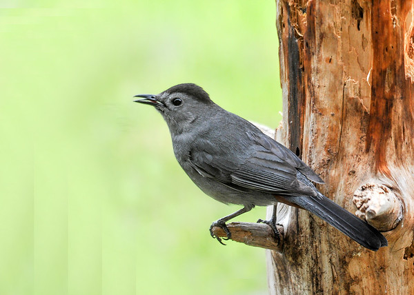 """<div class=""""jaDesc""""> <h4>Catbird Savoring Suet - May 17, 2016</h4> <p>After eating some suet, he was still savoring the taste with his tongue.  You can see a slight hint of red under his tail; that distinguishes the male from the female.</p> </div>"""