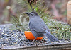 "<div class=""jaDesc""> <h4>Male Catbird Enjoying Grape Jelly - May 6, 2018</h4> <p>The male Catbird (barely visible red under tail) preferred to dine at the orange with grape jelly.  They love the jelly.</p> </div>"