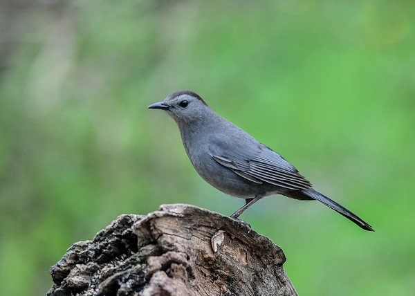 "<div class=""jaDesc""> <h4>Catbird on Log - May 4, 2019</h4> <p></p></div>"