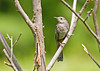 """<div class=""""jaDesc""""> <h4> Juvenile Catbird Makes Appearance - August 2, 2008 </h4> <p> I have been watching the Catbirds make feeding runs to a thicket near our woods. One of their youngsters finally ventured near the yard. Juvenile Catbirds are lighter gray when they are young.</p> </div>"""