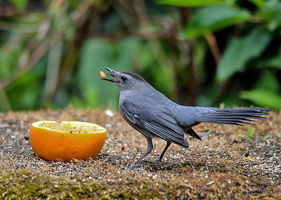 """<div class=""""jaDesc""""> <h4>Catbird Enjoying Orange - June 28, 2018</h4> <p>With no competition, she plucked chunks of orange, maneuvered them with her beak and tongue, then swallowed them.</p> </div>"""