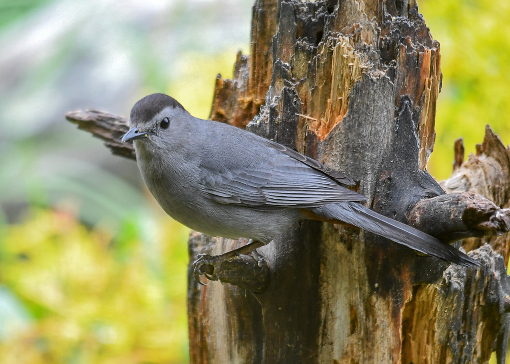 """<div class=""""jaDesc""""> <h4>Catbird Frowning - May 26, 2017</h4> <p>Our male Catbird can get this very stern look sometimes when he is not pleased with something (like no suet left on the suet log).</p> </div>"""