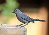 "<div class=""jaDesc""> <h4>Catbird Looking for Mealworms - June 23, 2018</h4> <p>I was putting mealworms out for the Wren to feed her chicks.  Mother Catbird wanted some for her chicks too.</p> </div>"