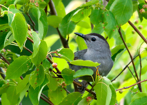"<div class=""jaDesc""> <h4>Catbird Close-up - June 18, 2013 </h4> <p>We have 2 nesting pairs of Catbirds this year.  They are keeping an eye on our serviceberry trees, anxiously awaiting the ripening of the berries.</p> </div>"