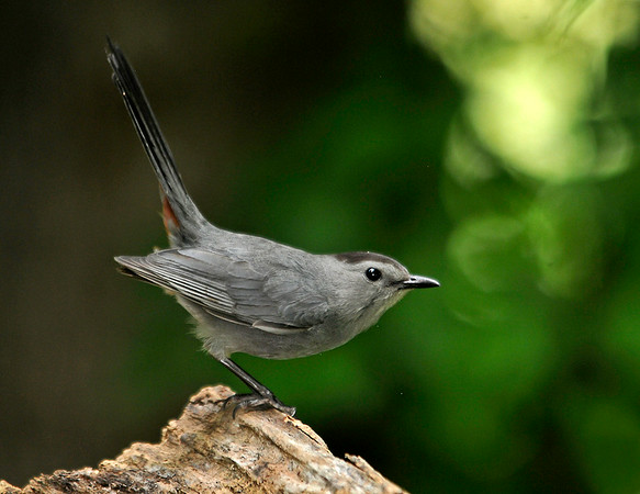 """<div class=""""jaDesc""""> <h4>Male Catbird on Alert - July 9, 2014</h4> <p> As this Catbird landed on a backyard perch, his tail went straight up and he leaned forward; wary of possible predators.</p> </div>"""