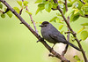 "<div class=""jaDesc""> <h4> Catbird in Pear Tree - May 22, 2008 </h4> <p> A Catbird pair is spending a lot of time in our backyard.  I love to hear their constant chattering.</p> </div>"