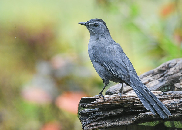 """<div class=""""jaDesc""""> <h4>Catbird on Perch - October 1, 2020</h4> <p>A pair of Catbirds stopped by for a few days before heading south.</p></div>"""