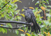 "<div class=""jaDesc""> <h4>Soggy Catbird - May 13, 2019</h4> <p>Thisoor Catbird was sopping wet from the heavy rain.</p></div>"