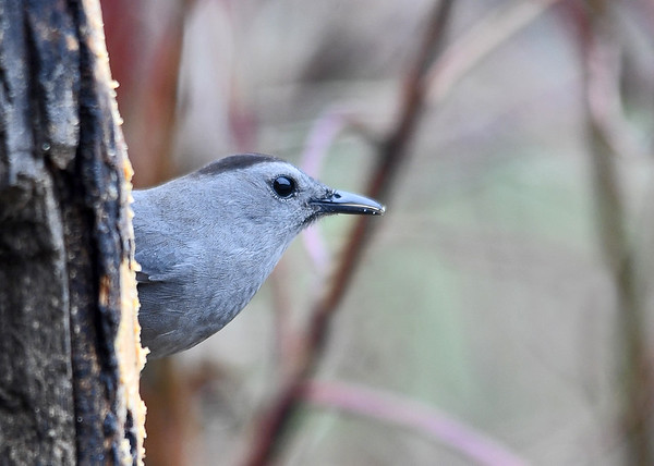 "<div class=""jaDesc""> <h4>Female Catbird Side Close-up - May 5, 2018</h4> <p>She is such a sleek beauty; looks like she polishes her beak.</p> </div>"