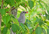 "<div class=""jaDesc""> <h4> Catbird with Serviceberry - June 27, 2008 </h4> <p> This Catbird was showing off his berry before tossing it down his throat.  This is an example of why I transplanted 10 serviceberry trees from the woods edge to my yard.</p> </div>"