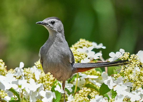 "<div class=""jaDesc""> <h4>Male Catbird in Viburnum - June 4, 2019</h4> <p>See red patch under tale, male only. </p></div>"
