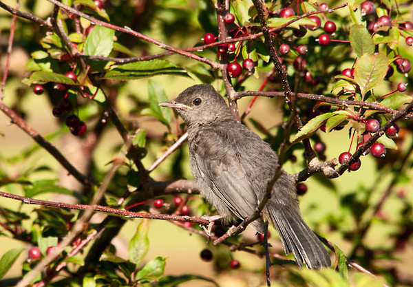 "<div class=""jaDesc""> <h4>Juvenile Catbird in Crabapple Tree - August 11, 2011 </h4> <p> This juvenile Catbird was pecking at dangling crabapples, but was not able to get any off the stems. I am sure that with a bit more practice, he will be able to start enjoying them.</p> </div>"