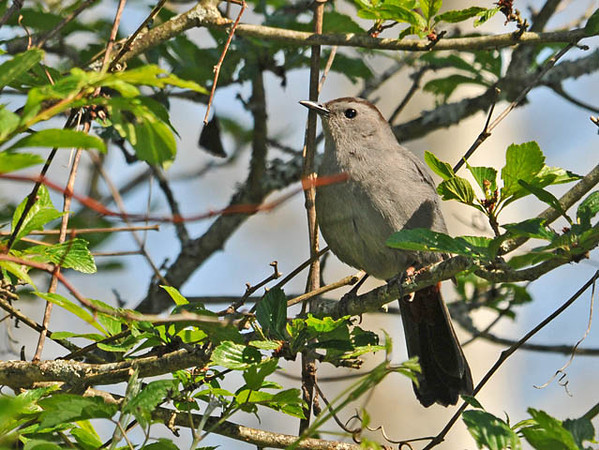 """<div class=""""jaDesc""""> <h4>Catbird Following Me Along Trail - May 20, 2010 </h4> <p>This Gray Catbird followed me as I walked along a wooded trail.  He would stop every 100 feet or so and sing to me.</p> </div>"""