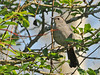 "<div class=""jaDesc""> <h4>Catbird Following Me Along Trail - May 20, 2010 </h4> <p>This Gray Catbird followed me as I walked along a wooded trail.  He would stop every 100 feet or so and sing to me.</p> </div>"