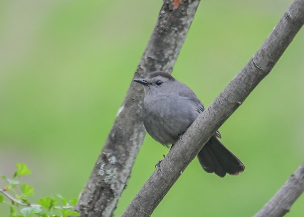 "<div class=""jaDesc""> <h4>Catbird on Tree Branch - May 4, 2019</h4> <p></p></div>"
