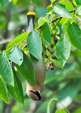 "<div class=""jaDesc""> <h4> Cedar Waxwing Upside Down - June 16, 2014</h4> <p> They spent about half their time looking for berries while hanging upside down on the berry-laden branches.</p> </div>"