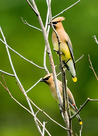 "<div class=""jaDesc""> <h4> Cedar Waxwing Pair - June 7, 2008 </h4> <p>These Cedar Waxwings appear to have paired up already.  I saw them flying around together several times today.</p> </div>"