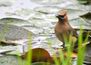 "<div class=""jaDesc""> <h4> Cedar Waxwing Bathing and Grooming - May 28, 2010 - Video Attached</h4> <p> I was quite surprised to see a Cedar Waxwing land on a lilypad in our water garden and begin a vigorous bath.  After washing off thoroughly, she flew to the nearby crabapple tree to complete her grooming session.</p> </div> </br> <center> <a href=""http://www.youtube.com/watch?v=1AhBpO9jFKA "" class=""lightbox""><img src=""http://d577165.u292.s-gohost.net/images/stories/video_thumb.jpg"" alt=""""/></a> </center>"