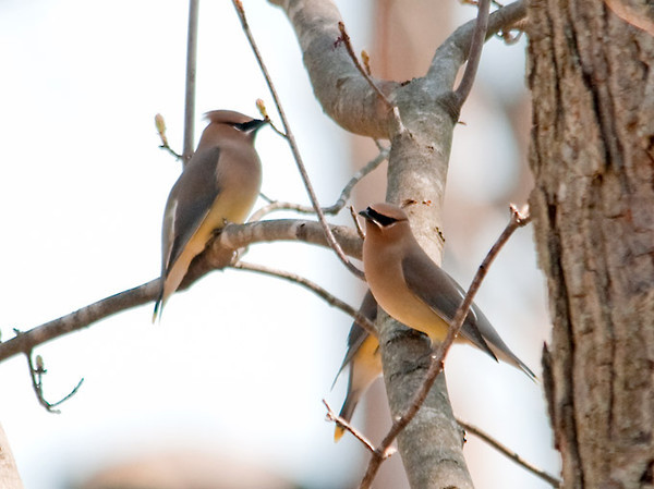 "<div class=""jaDesc""> <h4> Cedar Waxwing Flock by Pond - April 20, 2012</h4> <p> This past Friday I saw a flock of about 20 Cedar Waxwings perched in trees next to Brick Pond in Owego, NY.  I was able to use a large tree as cover to sneak up on them.</p> </div>"