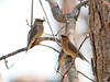 """<div class=""""jaDesc""""> <h4> Cedar Waxwing Flock by Pond - April 20, 2012</h4> <p> This past Friday I saw a flock of about 20 Cedar Waxwings perched in trees next to Brick Pond in Owego, NY.  I was able to use a large tree as cover to sneak up on them.</p> </div>"""