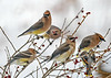 "<div class=""jaDesc""> <h4> Cedar Waxwings Eating Winterberries - January 16, 2018</h4> <p>What is left of the Winterberry raisins will be gone in the next few days.</p> </div>"