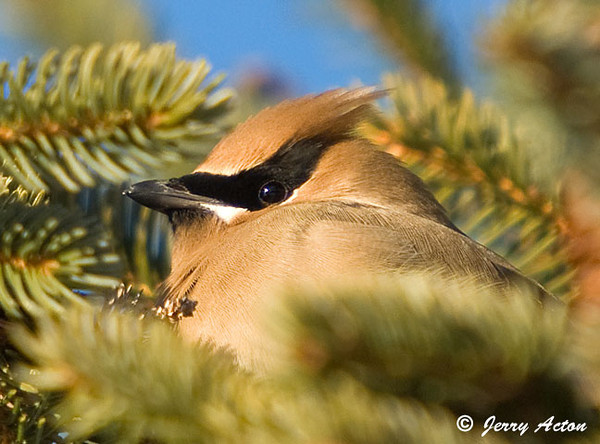 """<div class=""""jaDesc""""> <h4> Cedar Waxwing Close-up #4 - February 13, 2009 </h4> <p>This is the final photo from the cedar waxwing flock visit the other week.  I was able to get in real close to this one that was almost totally hidden in the spruce tree branches.</p> </div>"""