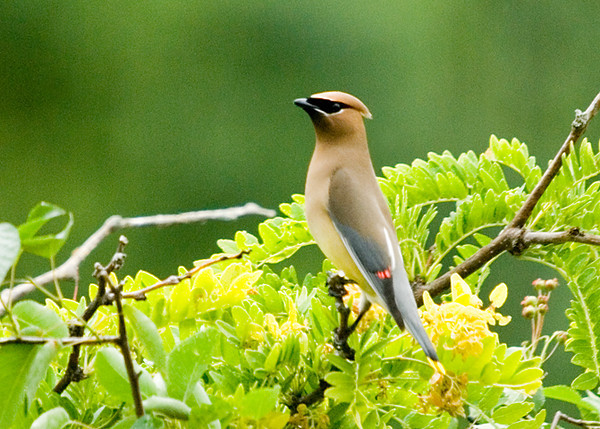 "<div class=""jaDesc""> <h4> Cedar Waxwing in Top of Honey Locust Tree - June 18, 2008 </h4> <p>This Cedar Waxwings was using our Honey Locust Tree as a viewing perch between bug catching flights.</p> </div>"