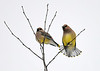 "<div class=""jaDesc""> <h4> Cedar Waxwing Tail Feather Fan - January 16, 2018</h4> <p></p> </div>"