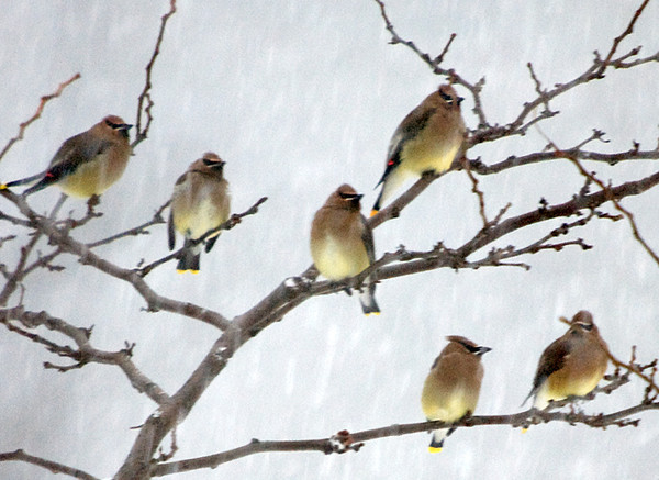 "<div class=""jaDesc""> <h4> Cedar Waxwing Flock Close-up - December 31, 2009 </h4> <p>The flock of 20 Cedar Waxwings stuck around for about 20 minutes before moving on.</p> </div>"