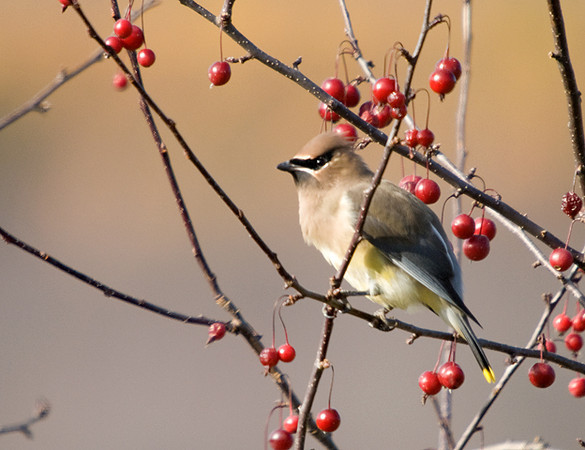 "<div class=""jaDesc""> <h4> Cedar Waxwing Posing - November 12, 2008 </h4> <p>Four Cedar Waxwings showed up this morning to feast in our crabapple tree.  They might stick around for a day or two before continuing south.</p> </div>"