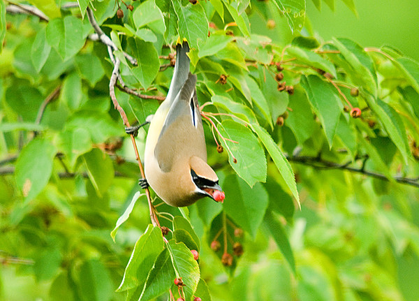 "<div class=""jaDesc""> <h4> Cedar Waxwing with Serviceberry - June 26, 2008 </h4> <p>There are about 6 Cedar Waxwings roaming through our area once a day.  The serviceberry trees and honeysuckle bushes are the main attractions.</p> </div>"