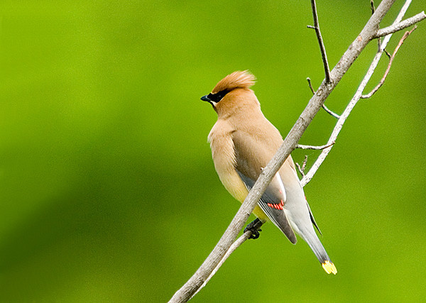 "<div class=""jaDesc""> <h4> Cedar Waxwing - 1st Visit 2008 - June 7, 2008 </h4> <p>What a treat it was to finally have the Cedar Waxwings visit our yard.  I have heard their calls in the woods, but this was their first visit this year.</p> </div>"