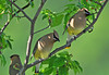 "<div class=""jaDesc""> <h4> Cedar Waxwing Pair in Serviceberry Tree - May 31, 2010</h4> <p> This pair of Cedar Waxwings have been hanging out together for several days now.</p> </div>"