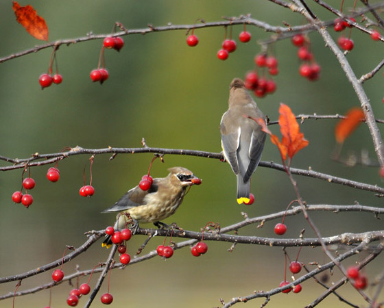 """<div class=""""jaDesc""""> <h4> Juvenile Cedar Waxwing with Crabapple - October 30, 2010</h4> <p> Mom Cedar Waxwing landed in our crabapple tree along with her 2 juveniles.  This little guy wasted no time feasting on crabapples.</p> </div>"""