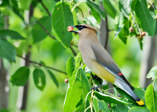 "<div class=""jaDesc""> <h4> Cedar Waxwing with Semi-ripe Berry - June 16, 2014</h4> <p> This Cedar Waxwing picked a berry with at least a little red on it. </p> </div>"