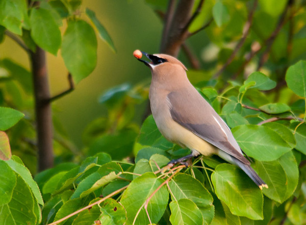 """<div class=""""jaDesc""""> <h4> Cedar Waxwing with Serviceberry - June 10, 2012</h4> <p> After dinner this evening, I heard multiple high pitched &quot;zeeeet, zeeeet&quot; calls coming from my water garden pond area.  I grabbed my camera because I knew that the Cedar Waxwings were probably dining in our serviceberry trees.</p> </div>"""