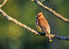 "<div class=""jaDesc""> <h4> Cedar Waxwing in Setting Sunlight - June 14, 2016</h4> <p>Twelve Cedar Waxwings landed in one of our backyard serviceberry trees.  This one moved out onto an open branch with the setting sun highlighting its golden feathers.</p> </div>"