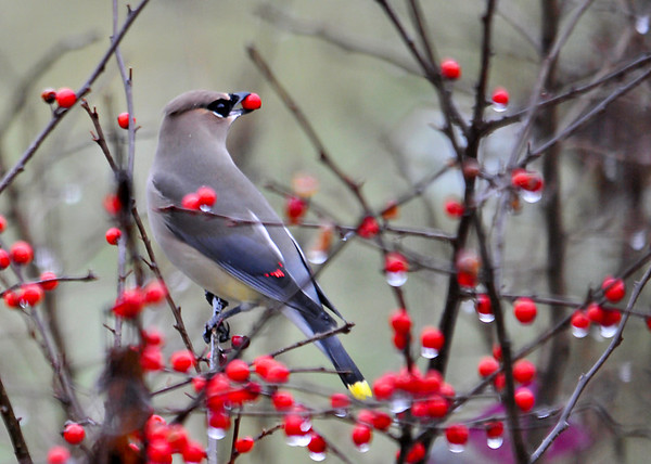 """<div class=""""jaDesc""""> <h4> Cedar Waxwing Grabs Winterberry - December 23, 2014</h4> <p> After looking at the winterberry bushes for several minutes, the Cedar Waxwing flew to this one and quickly grabbed a berry.</p> </div>"""