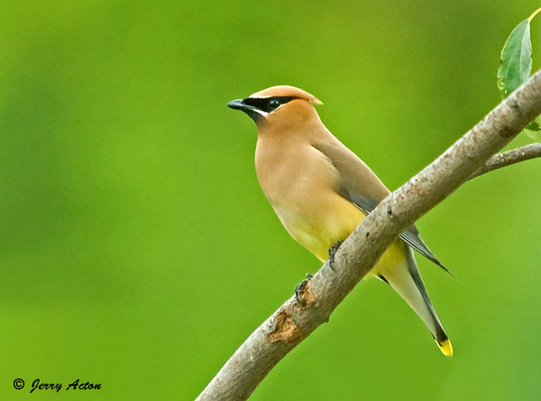 """<div class=""""jaDesc""""> <h4> Cedar Waxwing on Branch - July 19, 2009</h4> <p> This Cedar Waxwing posed so nicely for me for a few minutes.  He was looking all around and upward.  There has been a Goshawk around lately that all the birds are very wary of.</p> </div>"""