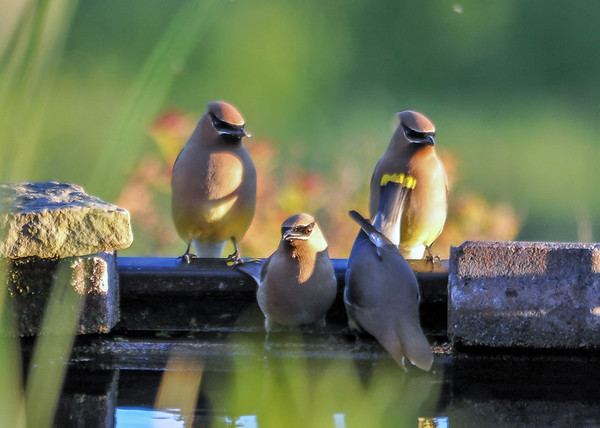 "<div class=""jaDesc""> <h4> Cedar Waxwings Getting Drink - June 14, 2016</h4> <p>The Cedar Waxwings took turns getting a drink from our water garden waterfall unit.</p> </div>"