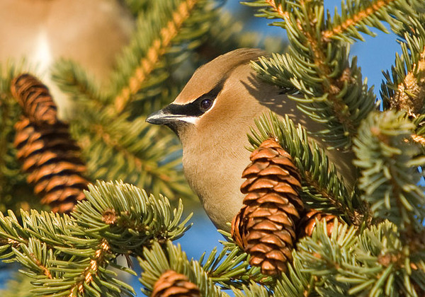 "<div class=""jaDesc""> <h4> Cedar Waxwing Close-up #3 - February 13, 2009 </h4> <p>This is the 3rd Cedar Waxwing that I got shots of the other day. She was pointed straight into the 20 degree 20MPH wind while soaking up some warmth from the late afternoon sun.</p> </div>"