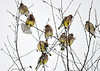 "<div class=""jaDesc""> <h4> Cedar Waxwings in Birch Tree - January 16, 2018</h4> <p>We started out with a flock of 12 that has now grown to 40.</p> </div>"