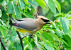 "<div class=""jaDesc""> <h4> Cedar Waxwing with Green Berry - June 16, 2014</h4> <p>They do not seem to care whether or not the berries are ripe since they just swallow them whole.</p> </div>"