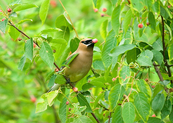 "<div class=""jaDesc""> <h4> Cedar Waxwing Showing Off Serviceberry - June 27, 2008 </h4> <p>This guy seemed particularly proud of his serviceberry find</p> </div>"
