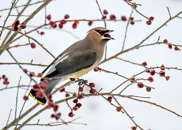 """<div class=""""jaDesc""""> <h4> Cedar Waxwing Ready to Swallow Winterberry - January 16, 2018</h4> <p>This bird had a bush all to herself.</p> </div>"""